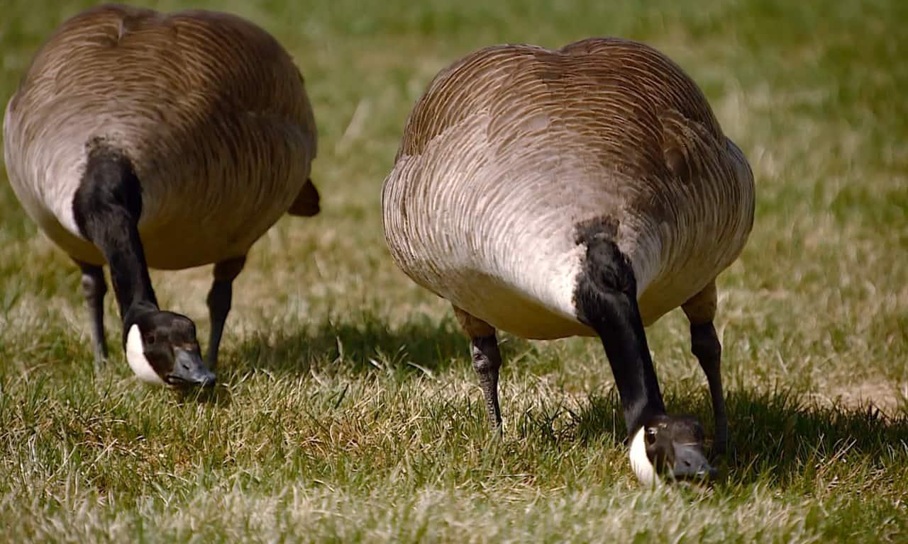 Canada Goose Attack Ad
