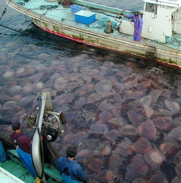 Japan_giant_jellyfish__1.jpg