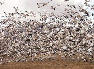snow geese in flight.jpg