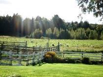 lambs in pasture.jpg