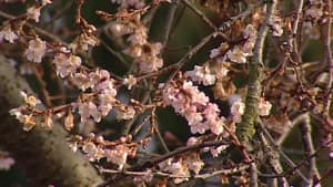 bc-blossoms-nixon-net.jpg