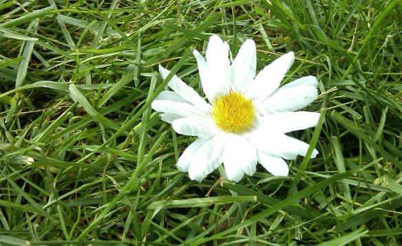 fake-daisy.jpg