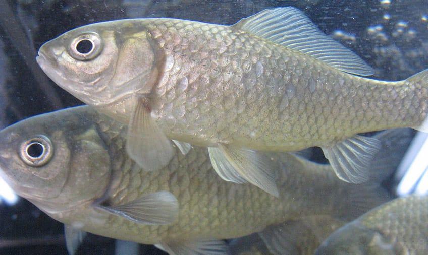 Japanese goldfish swimming in water