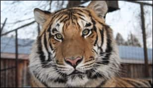 missing tiger.jpg