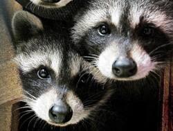 raccoons-ap-5792952.jpg