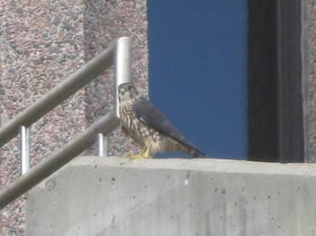 falcon-cbc 005.JPG