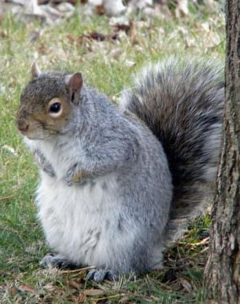 Fattest-SquirrelDD.jpg