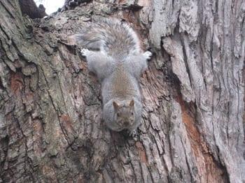 Leader of The Big Fat Squirrels -Taken at Park La Fontaine 17Nov10.JPG
