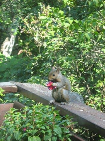 squirrelwithfuchsia.JPG