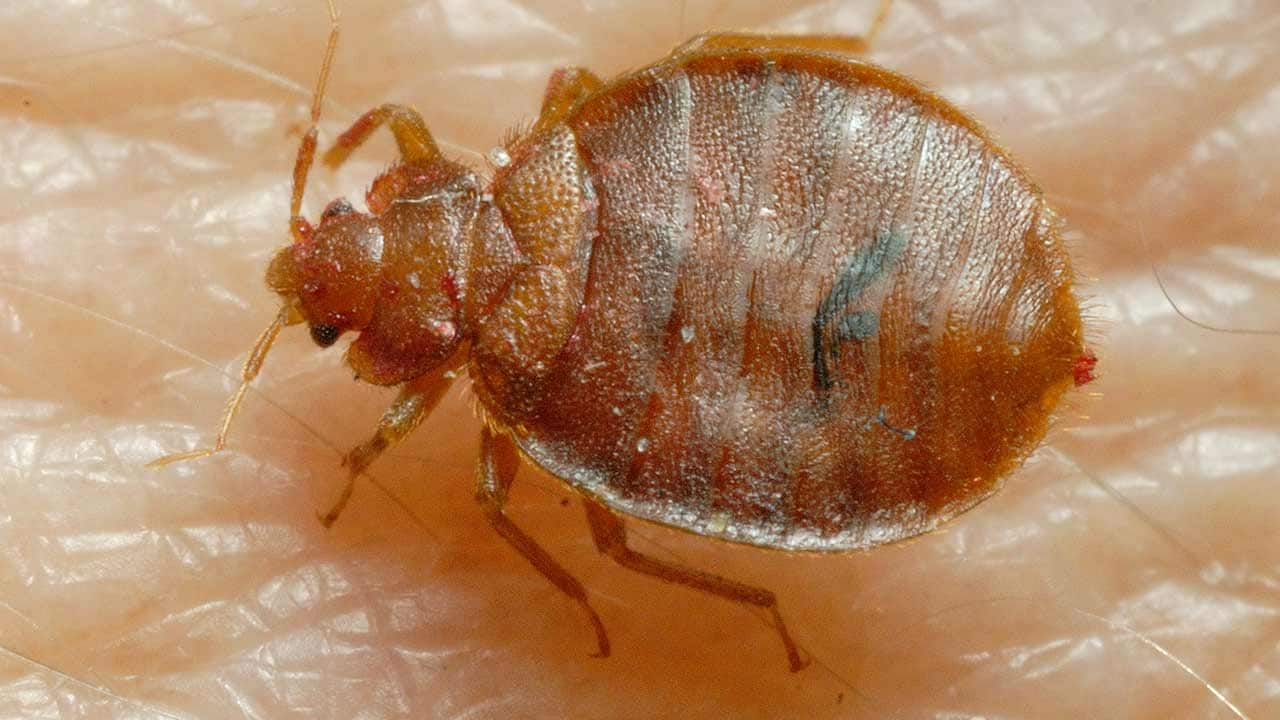 Bed Bug: Close Up