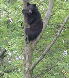 Bear on tree