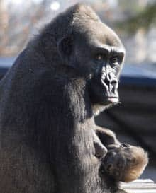 Sekani, a 16-year-old Western Lowland gorilla, holds her newborn at the Little Rock Zoo in Little Rock, Ark. in November 2006.