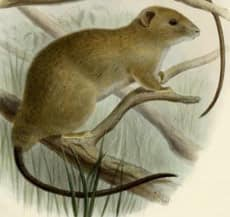 This illustration of the greater dwarf cloud rat (Carpomys melanurus) was published in 1898 as part of the formal description of the then new species. That description was based on the only other sighting of the mammal in 1896. (Thomas, Oldfield. On the Mammals obtained by Mr. John Whitehead during his recent Expedition to the Philippines)