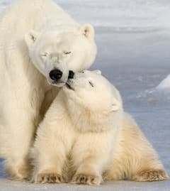 ...на 9% за каждые 10 лет, угрожая области существования белого медведя.