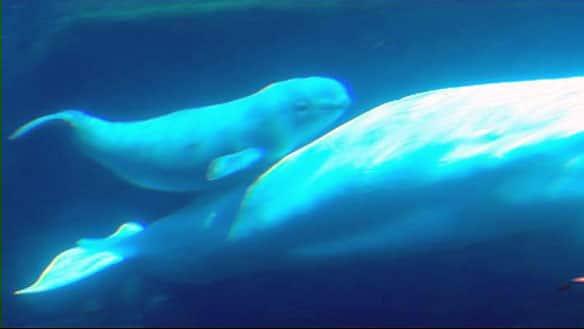 beluga whale habitat map. A 23-year-old eluga whale has