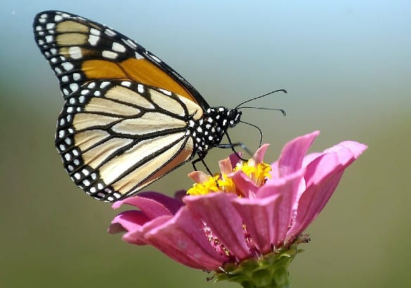 http://www.cbc.ca/gfx/images/news/photos/2008/08/21/monarch-butterfly-cp-3649958.jpg