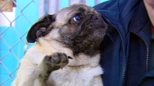 One of four pugs found abandoned outside shopping malls in Nanaimo, B.C., suffers from a serious kidney infection.