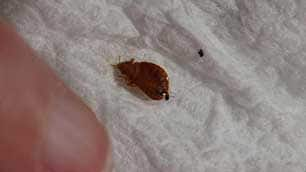 A bedbug found recently in a bathroom in Vancouver's West End.