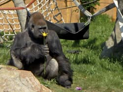 Calgary Zoo officials said gorillas are curious about new items, releasing a photo of silverback gorilla Kakinga examining a flower on Sunday.