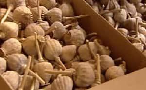 Opium poppy seizure largest in Alberta history - Edmonton - CBC News