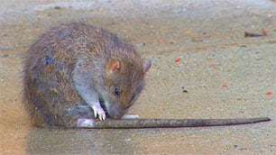 A rat was spotted wandering on a Swift Current sidewalk last month.
