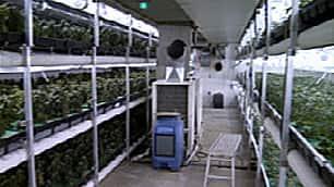 underground cannabis grow