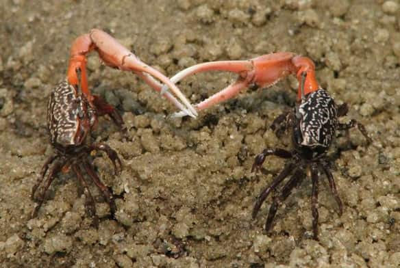 Two male fiddler crabs use their giant claws as weapons. Female crabs have only small claws for feeding.