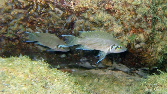 African Fish Choose Safety Over Sex Technology Science