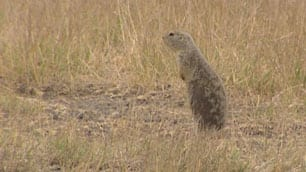 The Richardson's ground squirrel, also known as a gopher, is now an official pest in Saskatchewan.
