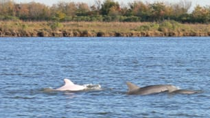 In this Dec. 5, 2007 photo released by Louisiana Department of Wildlife and Fisheries, a rare albino dolphin calf follows an adult, in the Calcasieu Ship Channel.