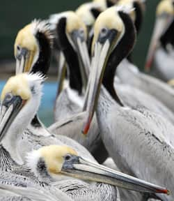 Brown pelicans are no longer listed as endangered. However, their low reproductivity rate makes them vulnerable to an environmental disaster.