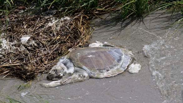 external image w-gulf-spill-turtle-cp-8586420.jpg