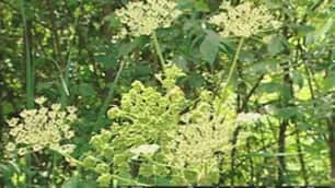 Giant hogweed can grow up to six metres high.