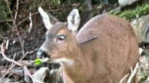 Officers hope to find this doe and at least one other also reported to have been shot through the neck.