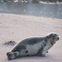 A young seal on a beach near the southern Labrador community of L'Anse au Clair in early January. (Courtesy: Derrick Letto)