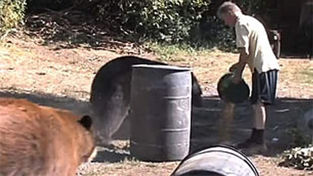 Allan Piche feeds two bears a bucket load of dog food on his rural property in this video posted on Vimeo.