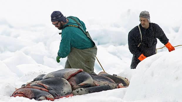 Hunters gather pelts as the annual East Coast seal hunt starts in the southern Gulf of St. Lawrence around Quebec's Iles de la Madeleine on March 23, 2009. (Andrew Vaughan/Canadian Press)