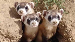 The Grasslands National Park is where the black-footed ferret is being reintroduced to nature.