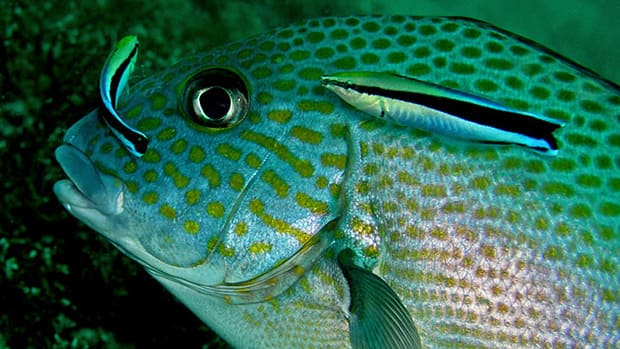 The researchers were surprised to find that pairs actually provide far superior service compared to individual cleaner fish.