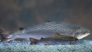 These salmon are the same age, but one is genetically engineered to grow twice as fast.