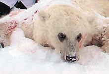The researchers wrote that hybrids, such as this grolar bear shot on Banks Island, N.W.T.,in 2006, should be protected, as they may play an 'underappreciated' role in the survival of species.