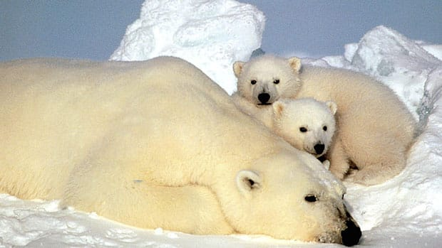 The retreat of sea ice in the Arctic is threatening the hunting grounds and habitat for polar bears.