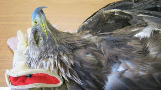 Picture of a golden eagle euthanized by the Wildlife Rehabilitation Society of Edmonton Monday. The bird was ill with lead poisoning, caused by the lead cartrige of a deer hunter, the group claims.