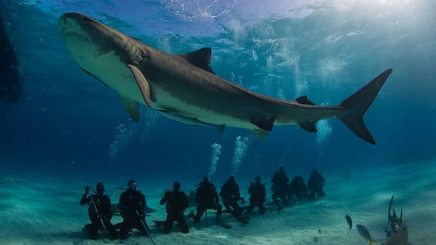 A large female tiger shark circles a group of divers at a popular dive-tourism site in the Bahamas known as Tiger Beach.