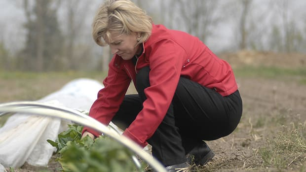 Sandy Morden picks spinach in at her family farm in Dundas. The farm has been in her family since the late 1700's
