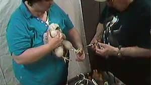 One of the falcon chicks receives its leg band on Wednesday.