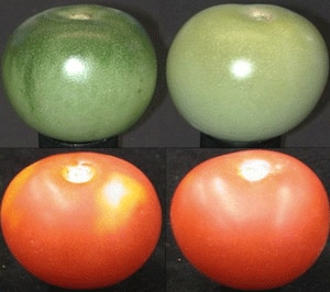 An unripe and ripe unevenly coloured traditional tomato, left, and one that has been mutated to select for a uniform colour distribution.