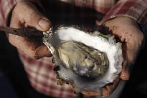 Rising acidity slows the growth of the shells of oysters, like this Pacific oyster held by Kevin Lunny at the Drake's Bay Oyster Co. in Point Reyes National Seashore, Calif.