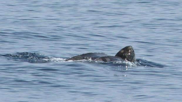 A leatherback sea turtle was spotted in the Bay of Fundy over the weekend.
