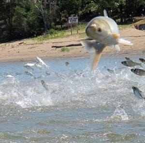 An Asian carp jumps from the Illinois River near Havana, Ill. Scientists use electric currents to stun fish so they can be scooped up and examined to see if native species are being affected by the arrival of Asian carp.